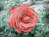 ROSE_AU CRAYÓN -  - DESSING ART 111
